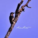 Sunda Pygmy Woodpecker