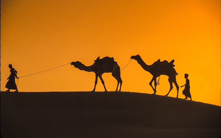 Camels on the hillside  by Mike O'Connor - People Street & Candids ( dunes, sunset, camels, silhouetter, dromedary,  )