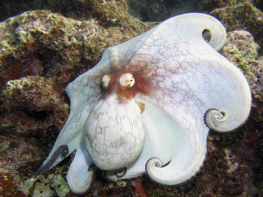 Cayman-Octopus-Cobalt-Coast - The Caribbean octopus off the Cobalt Coast of Grand Cayman Island.