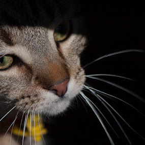 Dexter my neighbours cat by Jan Crawford - Animals - Cats Portraits