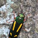 Red-legged Buprestis Beetle