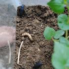 Mealworm Beetle