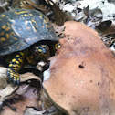 Turtle eating bitter bolete