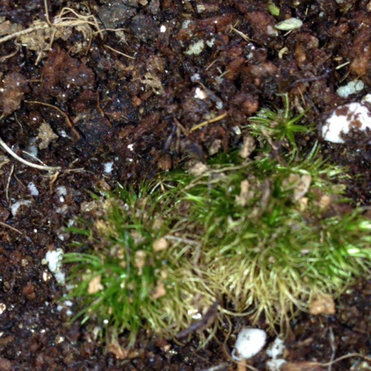 Moss/ Dicranum
