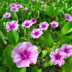 Morning Glory - Happy Together.  by Jo-Ann Tan - Flowers Flowers in the Wild