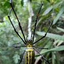 Golden Orb-web Spider female.