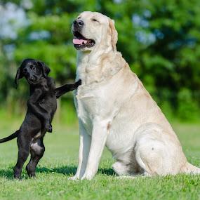 Big Daddy by Rob Ebersole - Animals - Dogs Playing ( puppy, yellow lab, black labrador )