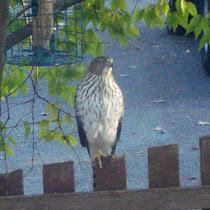 Suburban Birds of MD