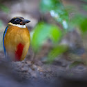 Blue-Wing Pitta