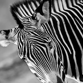 Zowie the Zebra by David Hammond - Black & White Animals ( animals, african, stripped, white, zebra, black,  )