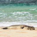 Hawaiian Monk Seal/ 'ilioholoikauaua