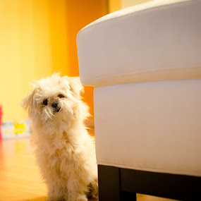 Yes Master by Thanh Nguyen-Huynh - Animals - Dogs Puppies ( fluffy, pomshihpoo, puppy, cute, dog, nikon, d5100 )
