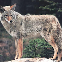 Coyote Slideshow logo