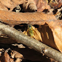 Yellow Jacket Bee