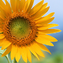 Sunflower Free Live Wallpaper