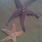 Purple (Ochre) Sea Star