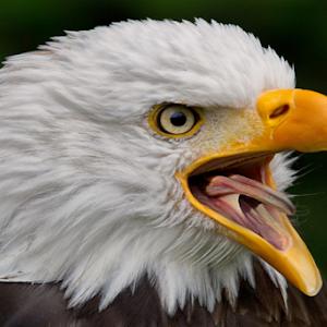 Weisskopfseeadler - Haliaeetus leucocephalus - American Eagle 8O1A5217.jpg