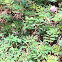 Mimosa, sensitive plant, touch-me-not, sleeping plant