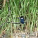 Amazon Kingfishers