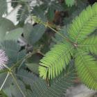 Mimosa en flor