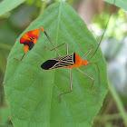 Flag-footed Bug