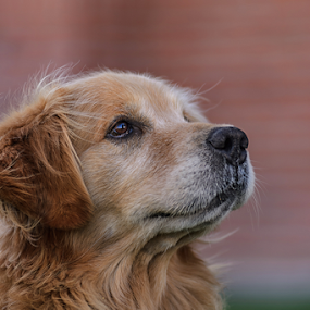 Gordo!!!!! by Cristobal Garciaferro Rubio - Animals - Dogs Portraits ( male dog, dog, golden, golden retriever )
