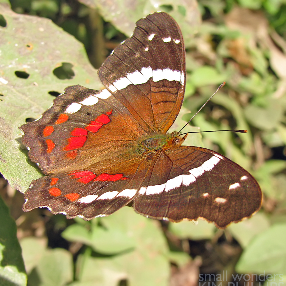 Banded Peacock Butterfly