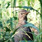 Common Blackbird