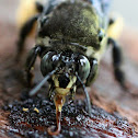 Lilacina Digger Bee