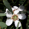 Australian or Coastal Tea-tree