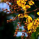 Golden Flamboyant