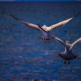 Undercarriage Down by Gerard Toney - Animals Birds ( flight, landing, wings, sea, seagulls, birds, gulls,  )