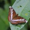 Knight Butterfly
