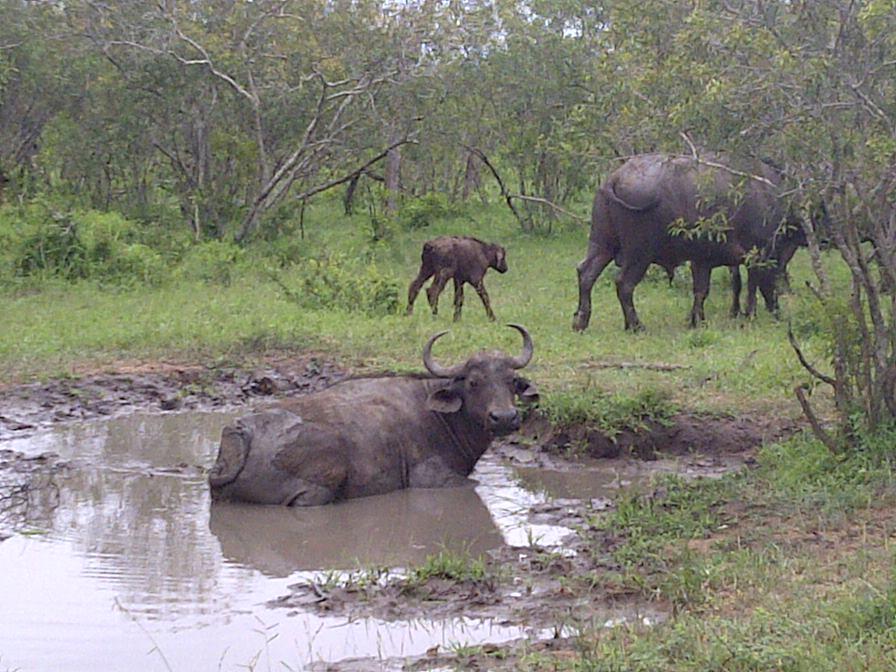 African or Cape Buffalo