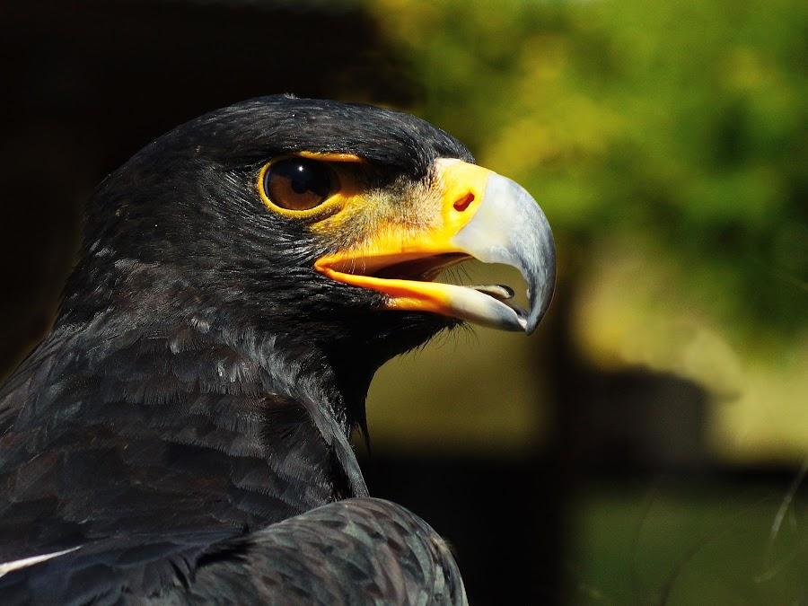 Black Eagle by Seppie Malherbe - Animals Birds (  )