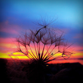 Winter sunset by Svetlana Micic - Nature Up Close Other plants ( sky, dandelion, colors, sunset, nature up close )