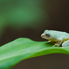 Pretty Bush Frog
