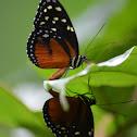 Mariposas en apareamiento