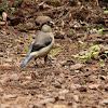 Priolo / Azores Bullfinch