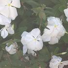 white penta