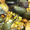 Yellow banded Poison dart frog.