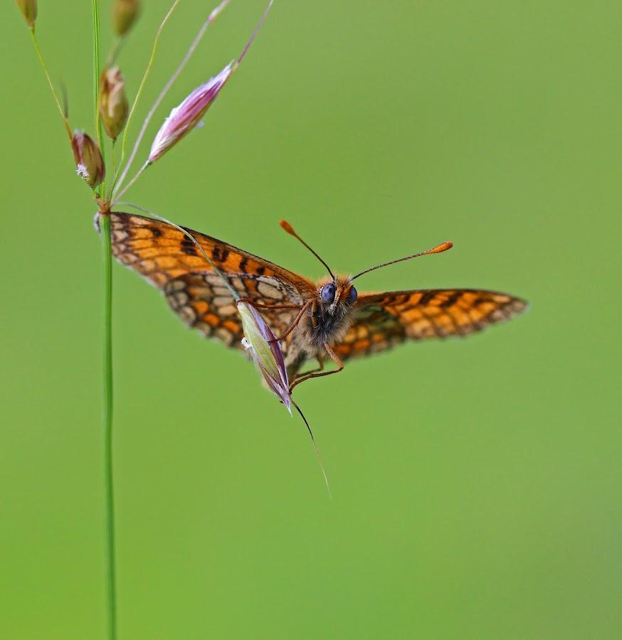 by Dirk Van den Berghen - Animals Insects & Spiders