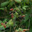 Wild Blackberry