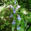Great blue cardinal flower