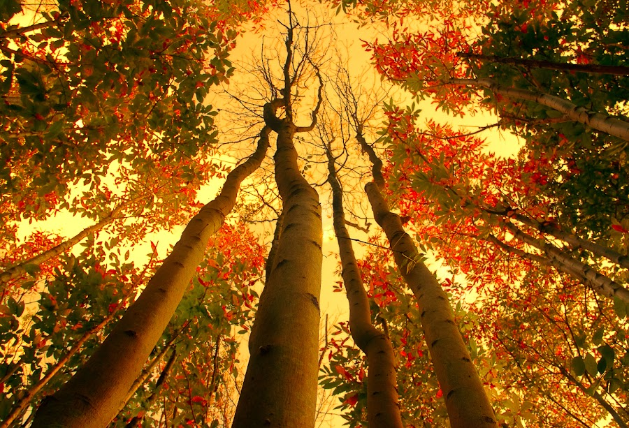Giants by Nic Evennett - Nature Up Close Trees & Bushes ( abstract, autumn, trees, tree trunk, photography,  )