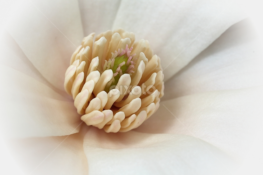 White Center by Fátima Leão - Flowers Single Flower ( white flower macro close-up,  )
