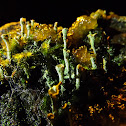 Green Fairy Cup Fungi,StarJelly and Chalk Comb-Moss