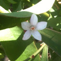 Long leaf Wax flower