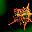 Spiny-backed orb-weaver