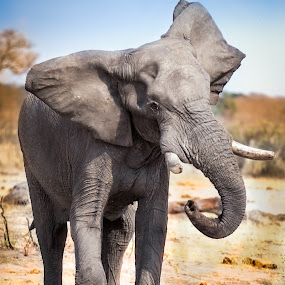 Angry elephant charges in African Savannah by Marjorie Speiser - Animals Other Mammals ( walking, herbivore, loxodonta, african, elephant, one, wildlife, tusk, skin, pachyderm, nature, safari, power, ivory, africa, head, profile, animal, botswana, wild, symbol, strength, enormous, front, heavy, gray, dangerous, powerful, mammal, maximus, huge, wilderness, trunk, ear, color, strong, endangered, big, standing, africana, large, colorful, mood factory, vibrant, happiness, January, moods, emotions, inspiration,  )